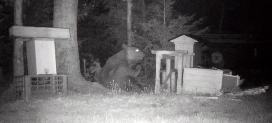 BIESZCZADY: Amator miodu grasuje w pasiece! Czasami narozrabia (VIDEO)