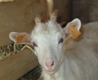 Sektor pasterski sanockiego skansenu ma nowe zwierzaki. Kózki i owce z niecierpliwością czekają na turystów (ZDJĘCIA)