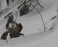 BIESZCZADY: Bywa, że to leśniczy wejdzie w drogę niedźwiedziom! (ZOBACZ FILM)