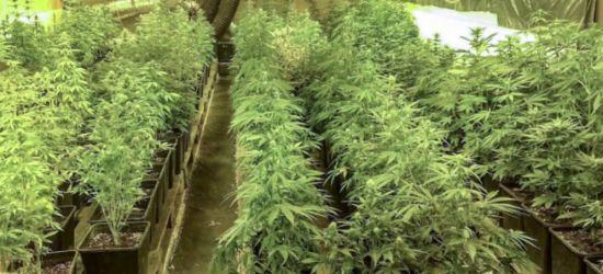 REGION: Uprawiali znaczne ilości marihuany