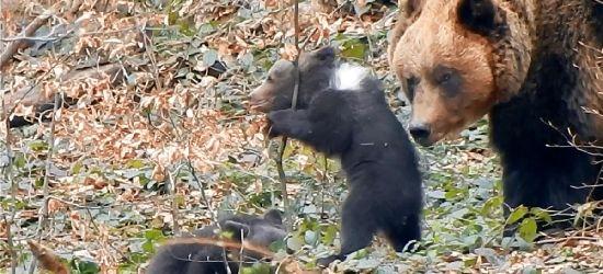 BIESZCZADY: Słodkie, niedźwiedzie kulki! Lepiej obserwować je z daleka (VIDEO)