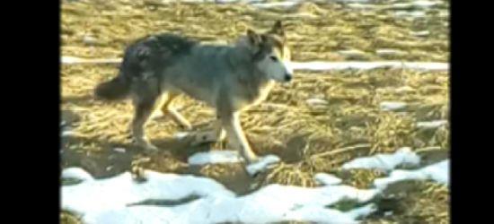 INTERNAUTA: Wilki spacerują w najlepsze obok zabudowań (VIDEO)