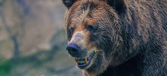 BIESZCZADY: Koniec śledztwa w sprawie tajemniczej śmierci 61-latka. Zabił niedźwiedź!