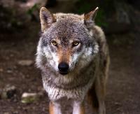INTERWENCJA: Wilk czy nie wilk? Drapieżnik błąka się po Sanoku, ale trudno go schwytać