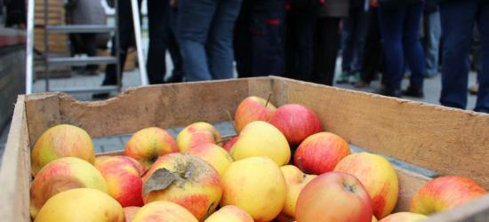 SANOK: Świeże, pachnące i darmowe jabłka na parkingu przy Arenie dla wszystkich (ZDJĘCIA)