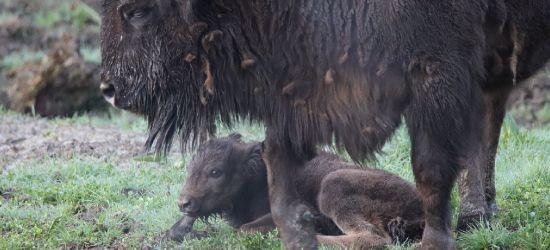 Żubry w Mucznem. Pierwsze cielątko urodzone w tym roku