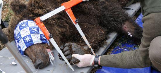 Niedźwiedź chuligan. Straszył i zabijał króliki (FOTO)