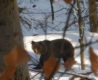 """BIESZCZADY: Niedźwiedzie życie w Nadleśnictwie Baligród. """"Miśki"""" nie śpią (FILM)"""