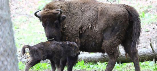 Pierwsze w tym roku narodziny w żubrzej zagrodzie! (VIDEO)