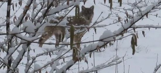 BIESZCZADY: Nie ma problemu by spotkać wilka (VIDEO)