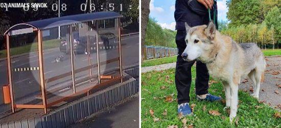 Pies ciągnięty za samochodem dochodzi do pełni sił! (ZDJĘCIA)