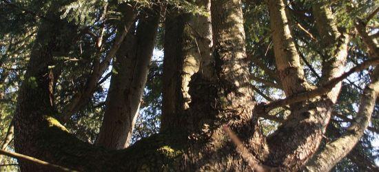 Jodły, buki i jawory. Pół tysiąca drzew rekomendowanych na pomniki przyrody
