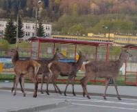BIESZCZADY: Spóźniły się na autobus. Dzikie zwierzęta w centrum miasta (FILM)