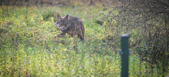 BIESZCZADY: A wilk skrada się powolutku (FOTO)