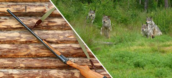 Jedna zgoda na odstrzał wilka już była. Czy będzie kolejna?