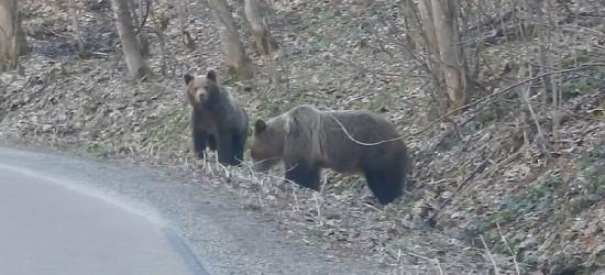 BIESZCZADY: Kiedy drogą zawładną niedźwiedzie (FILM)
