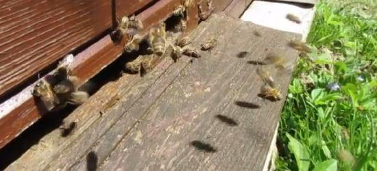 """""""Pszczółki mają trochę pogody"""" (VIDEO)"""