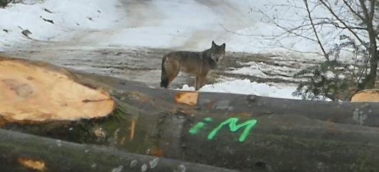 BIESZCZADY: Bliskie spotkanie z wilkiem! (VIDEO)