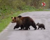 """Niedźwiedzice opuściły bezpieczne gawry. """"To my jesteśmy gośćmi w Bieszczadach"""" (FILM)"""