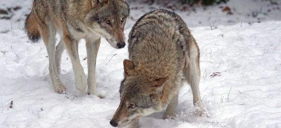 Wilki zagryzły łanie i daniele (DRASTYCZNE ZDJĘCIA, VIDEO)
