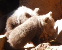BIESZCZADY: Małe niedźwiadki w promieniach słońca. Uwaga na ich niebezpieczne mamy (VIDEO)