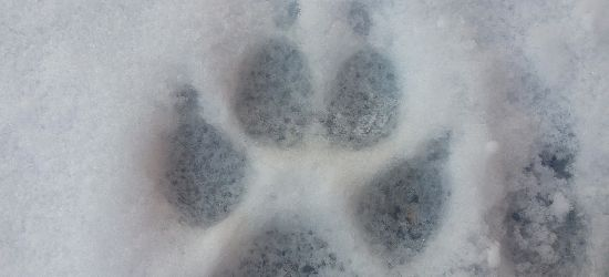 SANOK: Tropy wilka w okolicach ulicy Topolowej? (ZDJĘCIA)