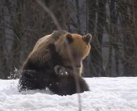 Obudzone z zimowego snu niedźwiedzie. Nie zawsze przyjacielsko nastawione (FILMY)