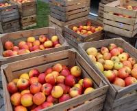 ZAGÓRZ: Harmonogram wydawania darmowych jabłek w gminie Zagórz