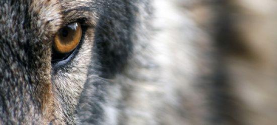 Będą płoszyć wilki! Apel o zachowanie szczególnej ostrożności!