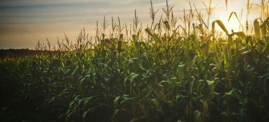 Imigranci ukryci w… kukurydzy!