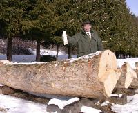 O rekordowych jaworach. Cenny surowiec pozyskiwany z naszych lasów (ZDJĘCIA)