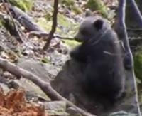 BIESZCZADY: Maluchy rosną jak na drożdżach i coraz pewniej czują się w lesie (FILM)