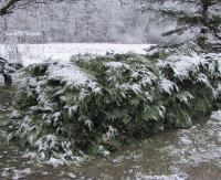 """Akcja """"Choinka – 17"""". Leśnicy będą chronić drzewostany i młodniki iglaste (ZDJĘCIA)"""