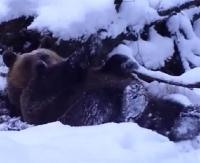 Niedźwiedzie nie śpią, tylko harcują! (VIDEO)