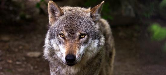 """GMINA ZAGÓRZ / ŁUKOWE: Wilk pokiereszował psa. """"Dzieci są przerażone, strach wyjść na podwórze"""""""