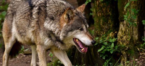 Wilki zaatakowały nad ranem. Głębokie rany u źrebaka (DRASTYCZNE ZDJĘCIA)