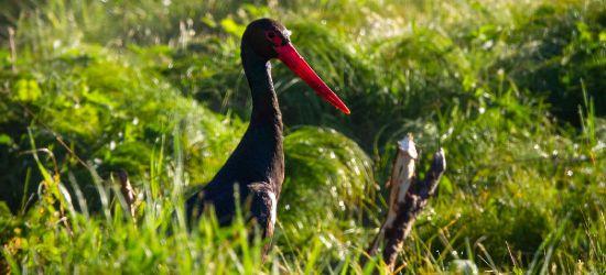 BIESZCZADY: Spotkać bociana czarnego. Komu się udało? (FOTO)