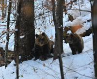 """GMINA KOMAŃCZA: Spotkanie oko w oko z niedźwiedzicą. """"Ten człowiek miał sporo szczęścia"""""""