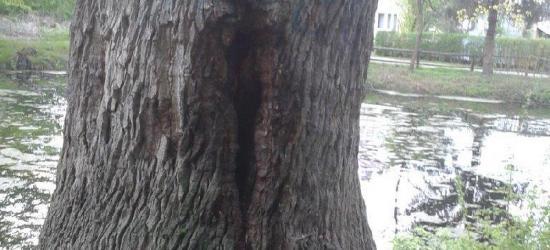 REGION: Palił się 400-letni pomnik przyrody (ZDJĘCIA)