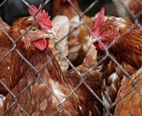 POWIATOWY INSPEKTOR SANITARNY: Bezwzględny zakaz wypuszczania drobiu!
