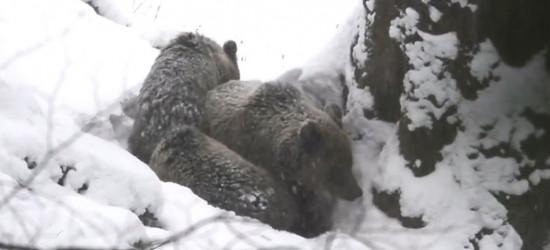 BIESZCZADY: Niedźwiedzie już w gawrach (VIDEO)