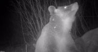Bezsenna zima niedźwiedzi (ZDJĘCIA)