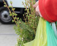 DZISIAJ: Na Placu Harcerskim będą rozdawane drzewka dla sanoczan